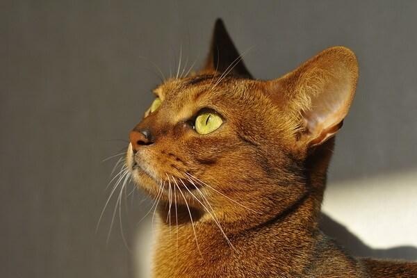 Описание породы абиссинская кошка