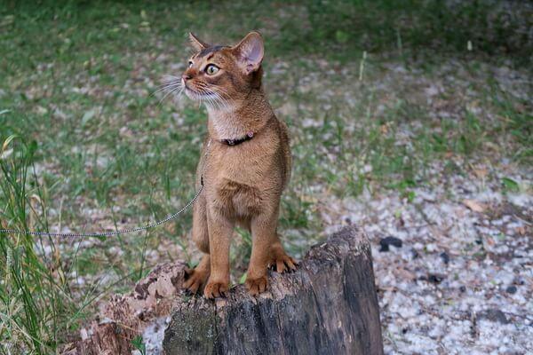 Особенности характера абиссинской кошки