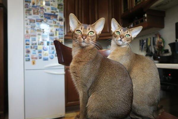 Абиссинская кошка - особенности содержания и ухода