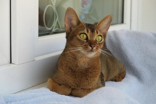 Абиссинская кошка - описание породы и характера