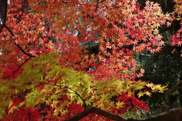 Осень в Японии - сезон момидзи