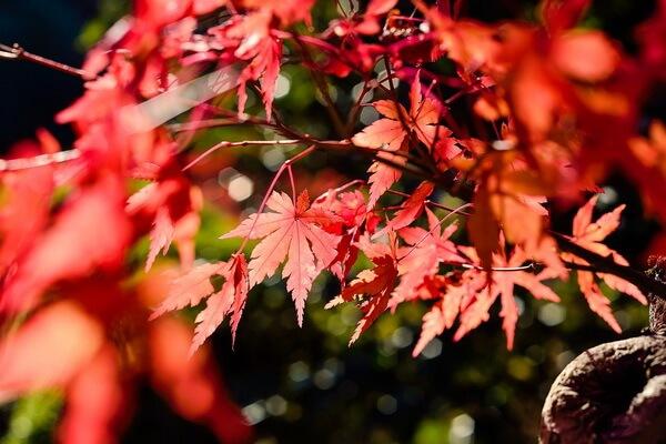Клёны в Японии осенью