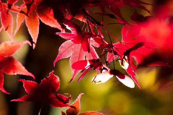 Клёны в Японии осенью - красивые фото и картинки