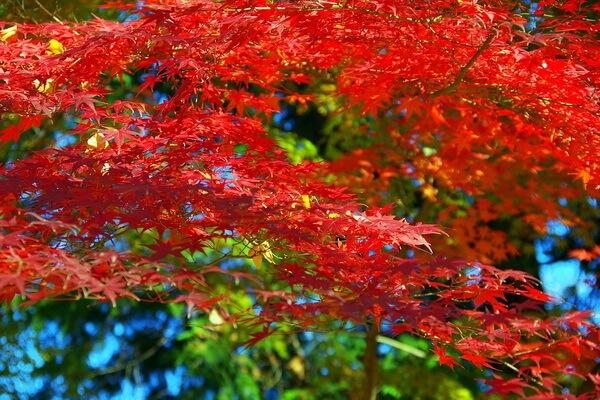 Клёны в Японии осенью - красивые картинки и фото для вдохновения