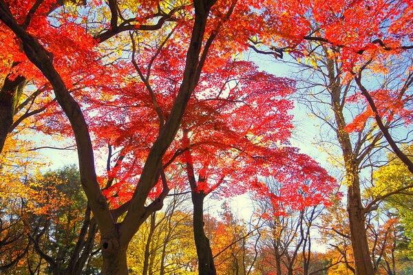Красные клёны в Японии осенью