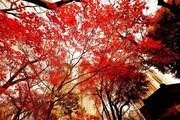 Сезон момидзи и красные клёны Японии