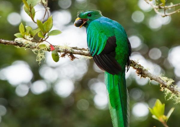 Квезаль - священная птица майя