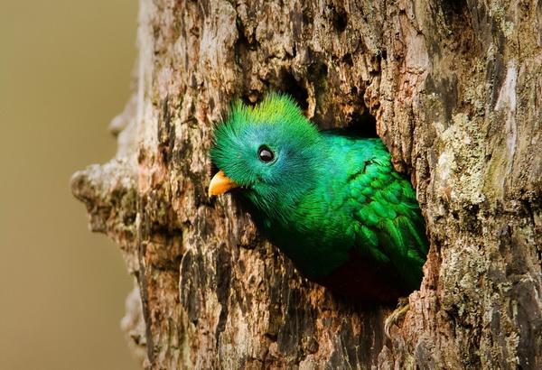 Самые красивые птицы мира - Квезаль