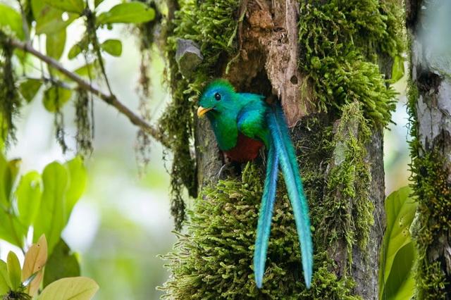 Красивые птицы мира - квезаль