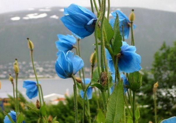 Гималайский голубой мак - особенности выращивания