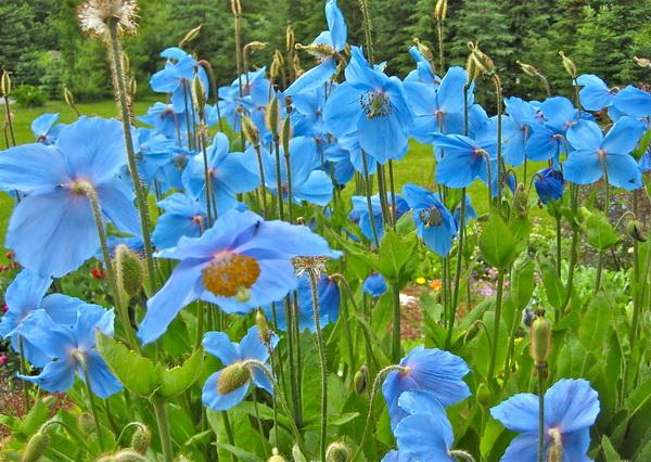 Красивые цветы - голубые маки меконопсис