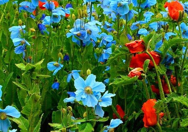 Гималайский голубой мак в саду - выращивание и уход