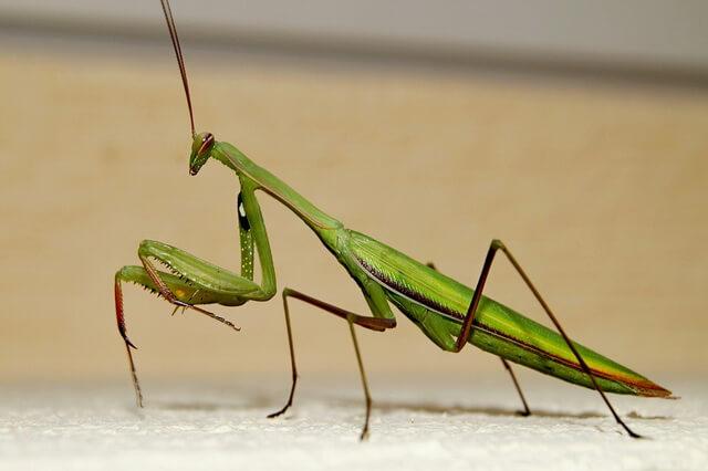 Богомол - интересные факты о насекомом