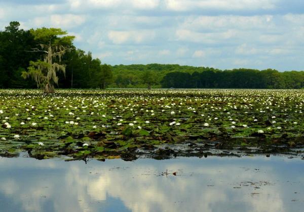 Уникальная флора озера Каддо