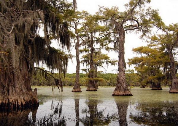 Кипарисы озера Каддо в США