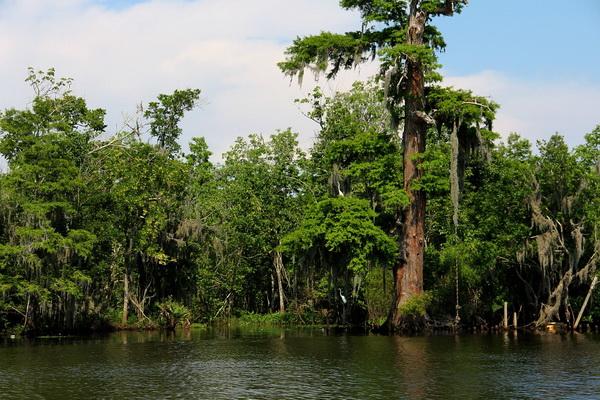 Луизианский мох на кипарисах озера Каддо