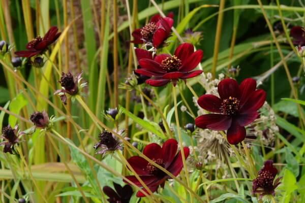 Чёрная или шоколадная космея - описание цветка