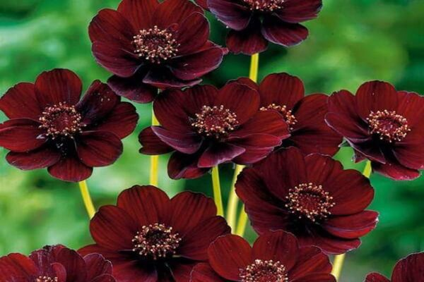 Шоколадная космея - красивые фото цветов