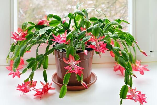 Рождественский кактус - уход за цветком