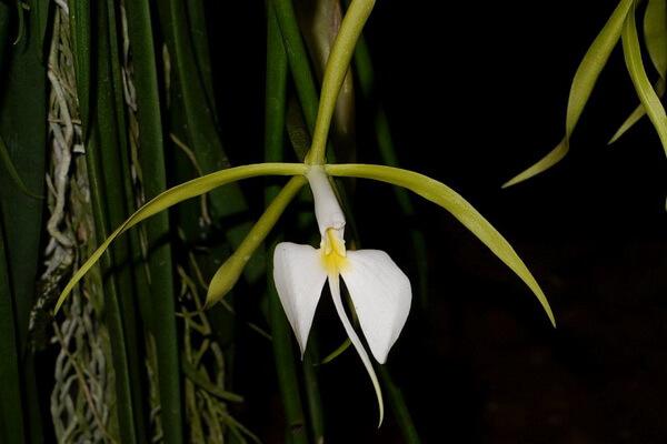 Цветы, которые цветут ночью, с фото и описанием - Эпидендрум ночной или ночная орхидея