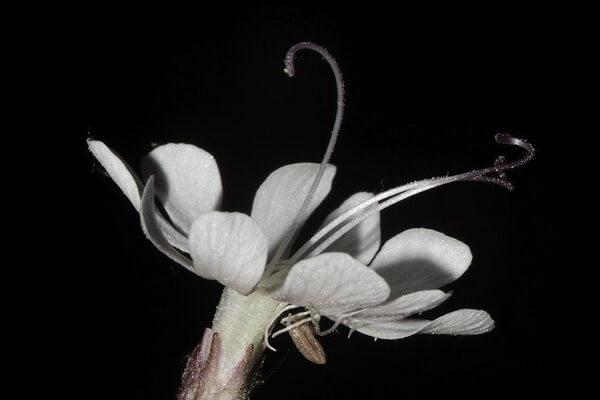 Цветы, которые цветут ночью, с фото и описанием - Смолёвка поникшая