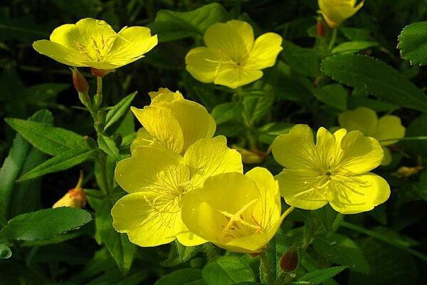 Цветы, которые цветут ночью, с фото и описанием - Ослинник двулетний или примула вечерняя