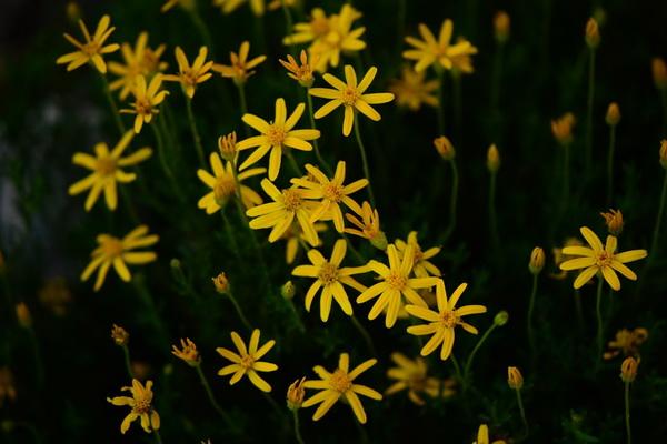 Цветы, которые цветут ночью, с фото и описанием - Берландиера лировидная или шоколадная ромашка