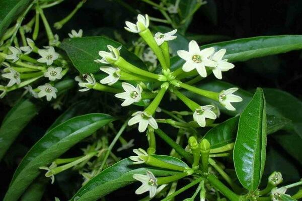 Цветы, которые цветут ночью, с фото и описанием - Цеструм ночной или ночной жасмин