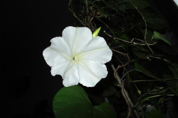 Цветы, которые цветут ночью, с фото и описанием - Ипомея белая или лунный цветок