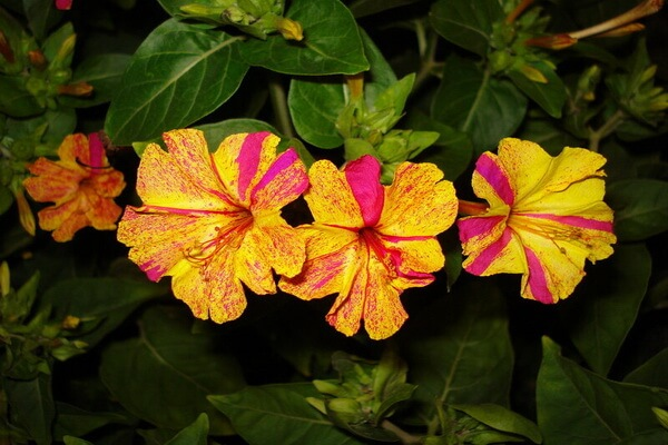 Цветы, которые цветут ночью, с фото и описанием - Ночная красавица или мирабилис ялапа