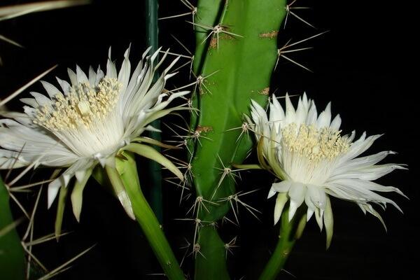 Цветы, которые цветут ночью, с фото и описанием - Ночной цереус