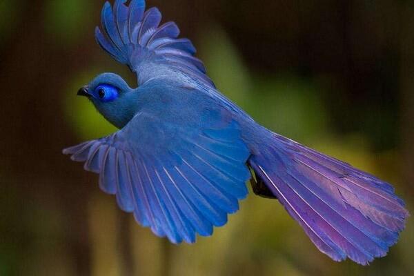 Животные Мадагаскара с фото и описанием - Голубая мадагаскарская кукушка