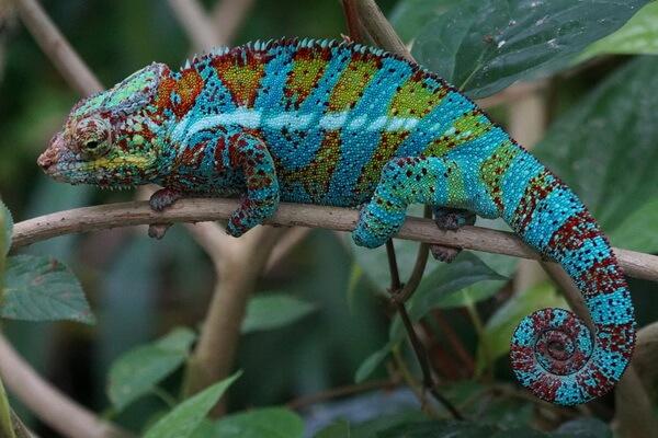 Животные-эндемики Мадагаскара с фото и описанием - Пантерный хамелеон