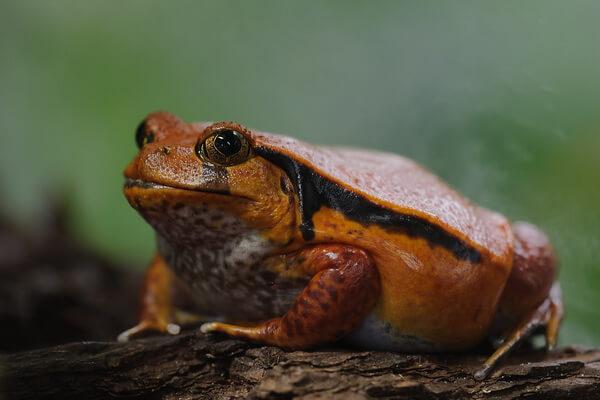 Животные Мадагаскара с фото и описанием - Красный узкорот