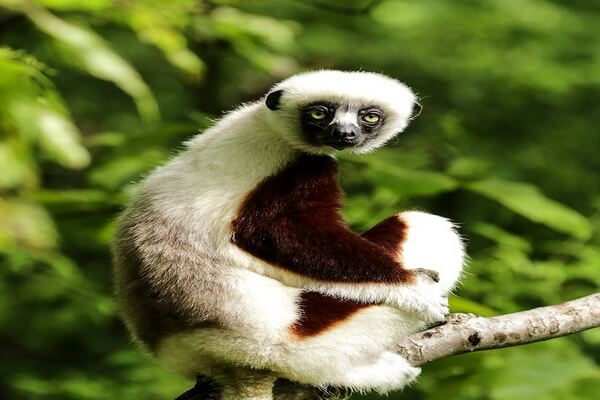 Животные Мадагаскара с фото и описанием - Сифаки