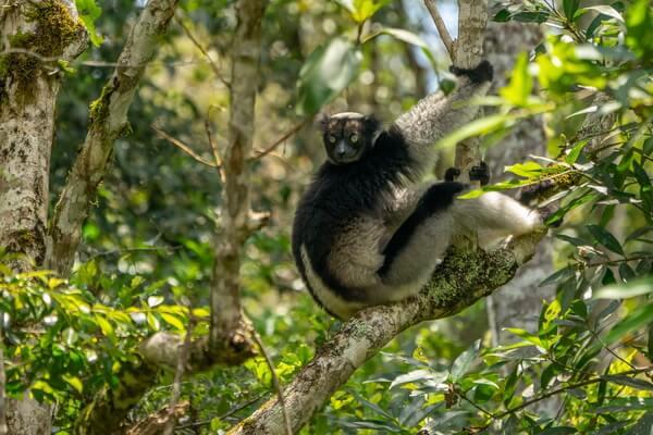 Животные Мадагаскара с фото и описанием - Индри