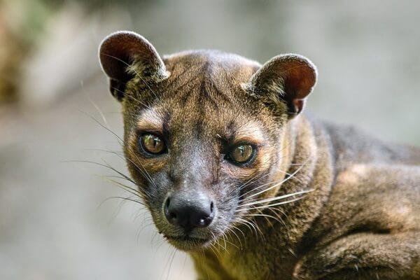 Животные Мадагаскара с фото и описанием - Фосса