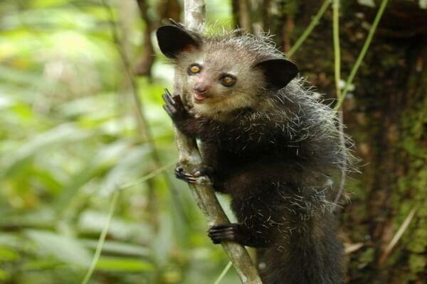 Животные-эндемики Мадагаскара с фото и описанием - Мадагаскарская руконожка или ай-ай