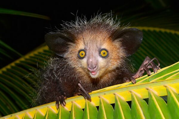 Животные Мадагаскара с фото и описанием - Мадагаскарская руконожка или ай-ай