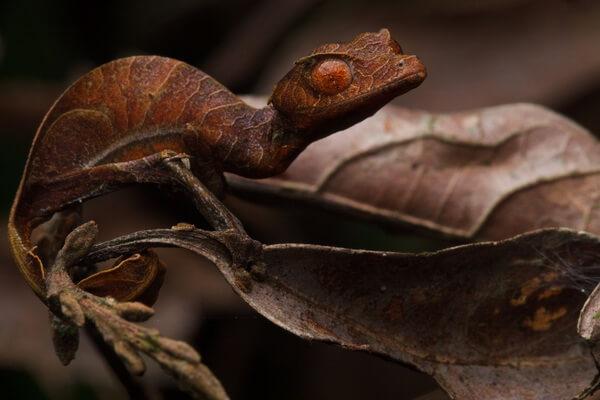Животные Мадагаскара с фото и описанием - Фантастический листохвостый геккон