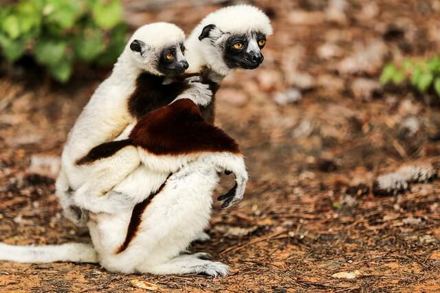 Фауна Мадагаскара - животные-эндемики острова с фото, названиями и описанием