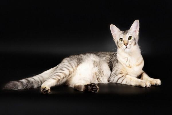 Яванская порода кошек - описание характера