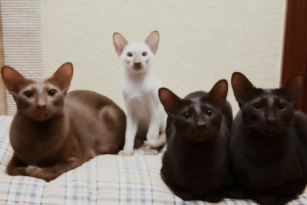 Яванская кошка - лучшая порода для аллергиков