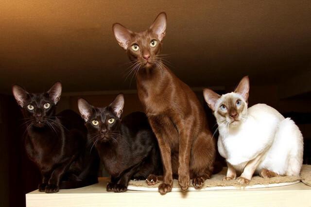 Яванская порода кошек - описание внешнего вида и характера
