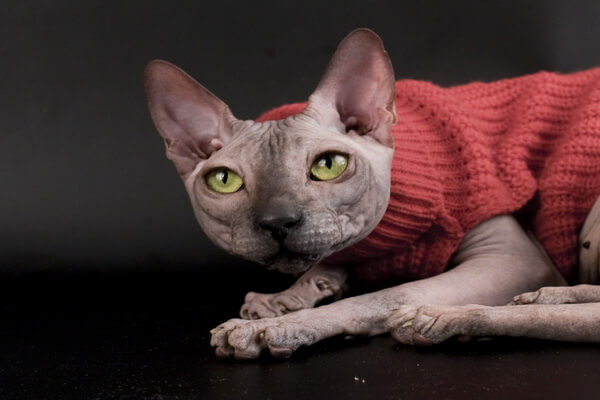 Внешность и описание породы кошки сфинкс
