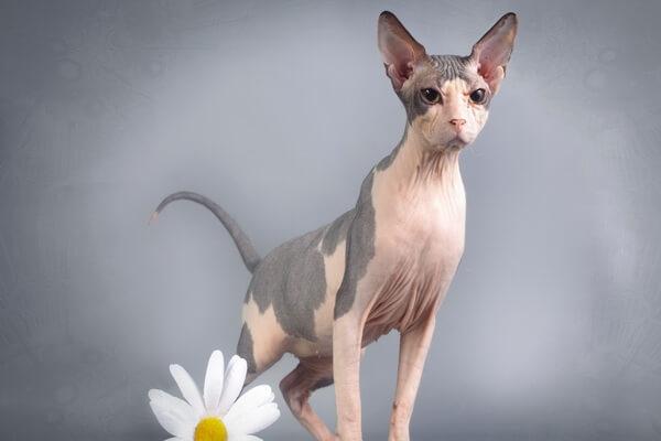Характер кошек породы сфинкс