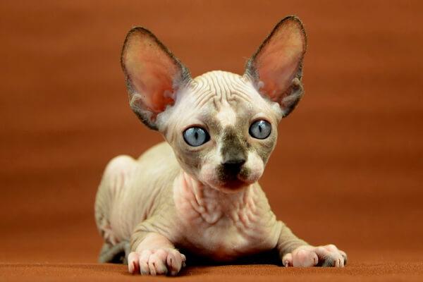 Кошка сфинкс - описание породы, характер, фото