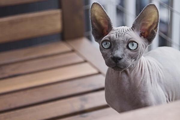 Фото кошки породы сфинкс