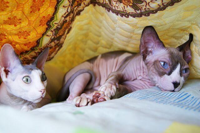 Порода кошек сфинкс - описание, характер, фото