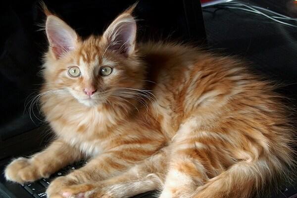 Кошки-интроверты - породы с фото и описанием - Мейн-кун